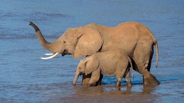 Cazadores furtivos reducen población de elefantes en reserva