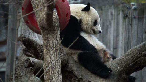 Bao Bao, la célebre panda de Washington, regresa a China
