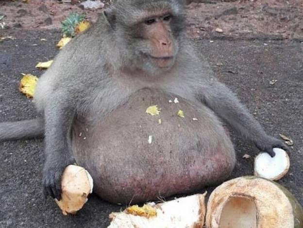 Macaco obeso alimentado por turistas es sometido a rigurosa dieta