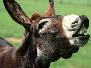 ¡Feliz día de la mula! Entérate por qué se celebra
