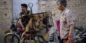 Comienza en China el festival de la carne de perro