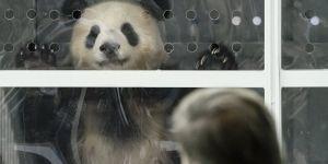 Pandas gigantes aterrizan en Berlín, Alemania