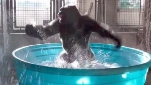 El gorila que se hizo viral no estaba bailando
