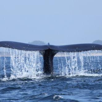Gigantes en el mar: Avistamiento de ballenas en Bahía de Monterey, CA