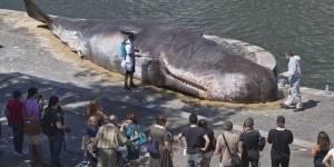 Aparece ballena gigante en orilla del río Sena, París