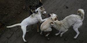 30 perros devoran el cadáver de su dueña en Sonora