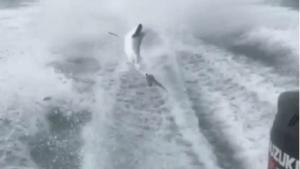 Torturan a tiburón arrastrándolo de la cola con lancha