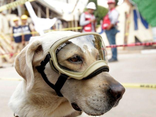 Perros de búsqueda y rescate, los otros grandes héroes del terremoto