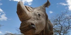 Muere 'Sudán', último rinoceronte blanco del mundo